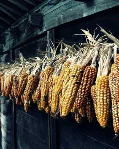 Dünyada 200 milyon dönüm mısır, soya ve buğday ekilmeli