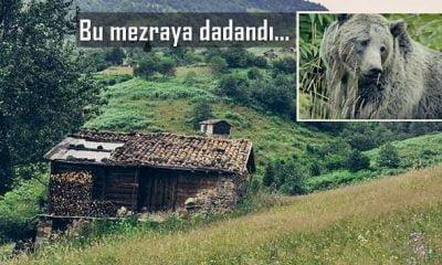 Boz ayı mezra evine girdi