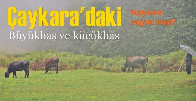 Çaykara'daki büyükbaş ve küçükbaş hayvan sayısı ne kadar?