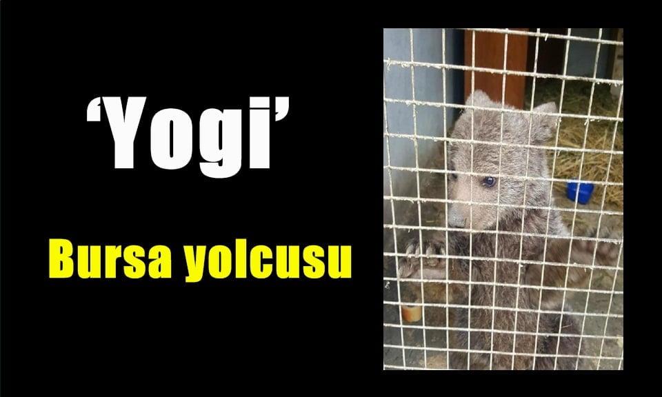 Sevimli yavru ayı 'Yogi' Bursa yolcusu