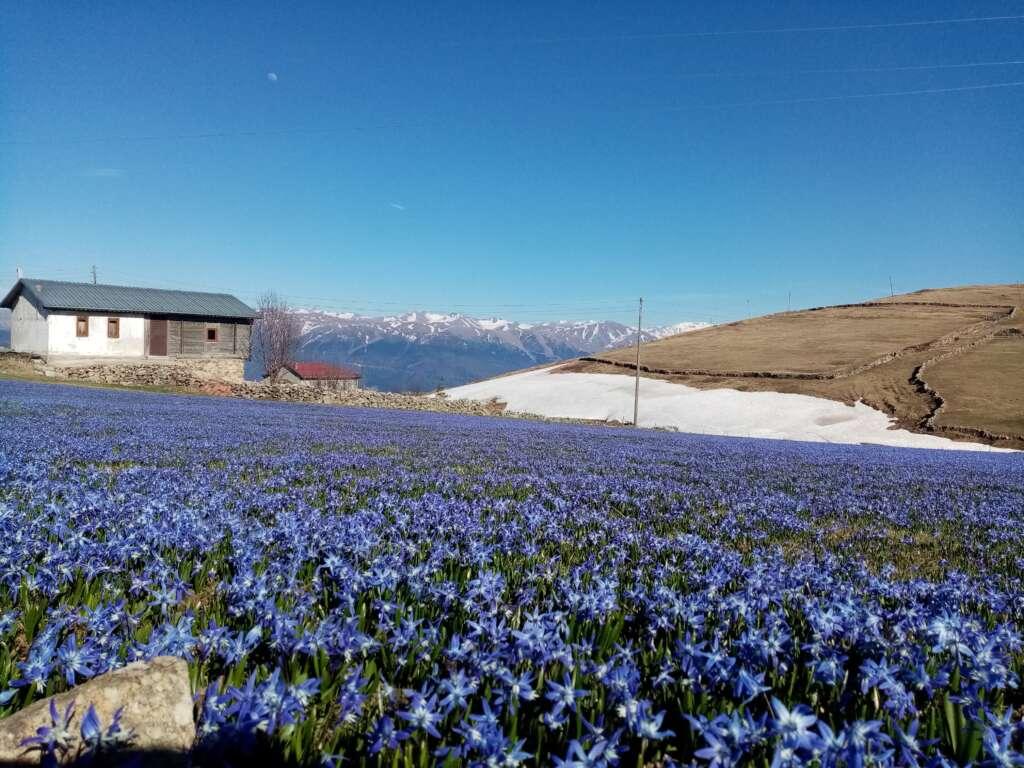 Çaykara'nın mavi çiçekleri açtı 6