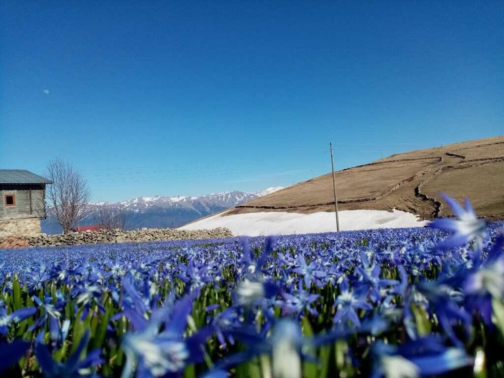 Çaykara'nın mavi çiçekleri açtı 5