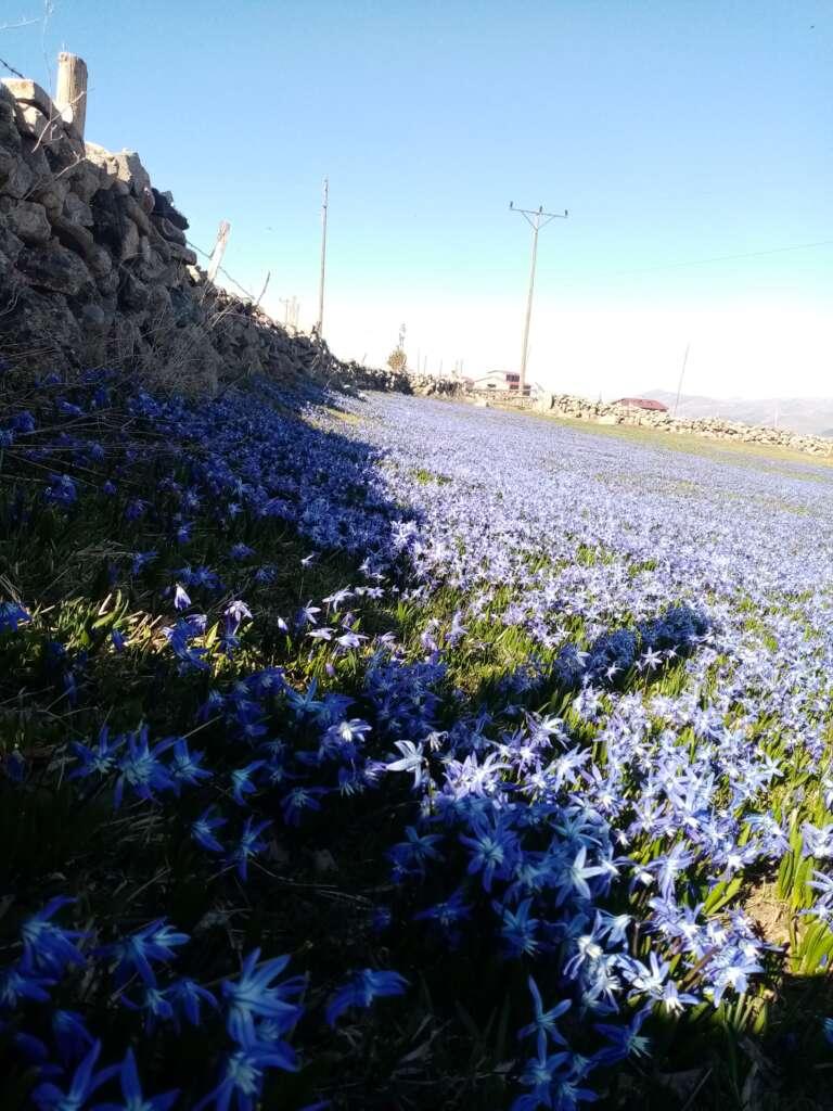 Çaykara'nın mavi çiçekleri açtı 3