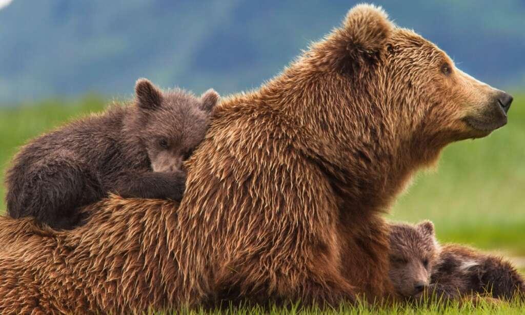 Doğu Karadeniz'de ayı sorununa ilginç çözüm! 1