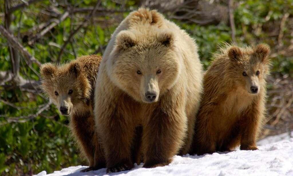 Doğu Karadeniz'de ayı sorununa ilginç çözüm!