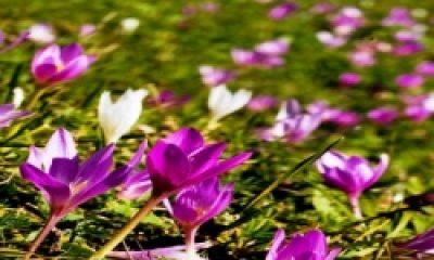Meşhur Yente Balı'nın Elde Edildiği Çiçekler Avrupa Dilinde