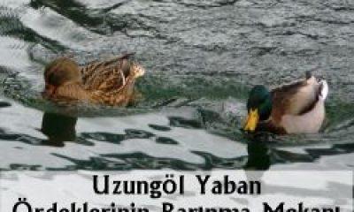 Uzungöl Ördeklerin Barınma Mekanı