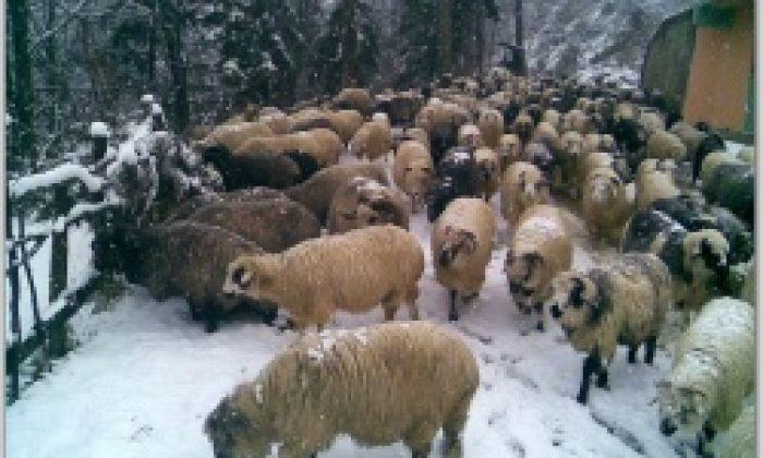 Kar Koyuncuları İndirdi