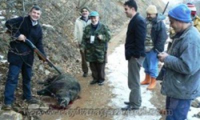 Çaykara'da Yaban Domuzu Avı: 15 Yaban Domuzu Avlandı